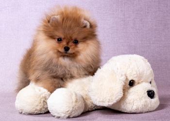 Замечательный щенок  шпица от родителей чемпионов