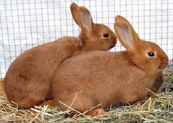 Кролики Бургундские