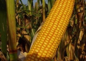 Cемена гибридной кукурузы Росс 199 МВ