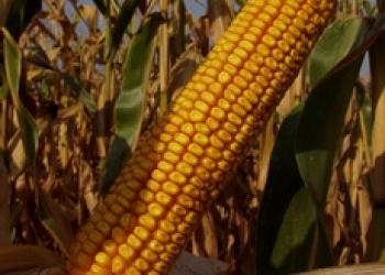 Cемена гибридной кукурузы Краснодарский 385 МВ