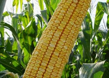Cемена гибридной кукурузы Краснодарский 507 АМВ