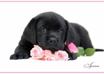 Продам щенков Лабладора