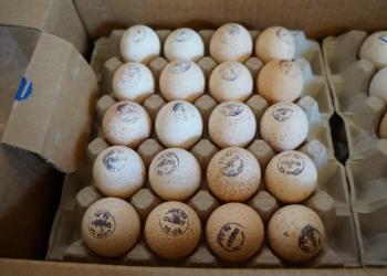 инкубационное яйцо:бройлеры,куры,индюши,гуси,утки,цесарки...из Европы и России.