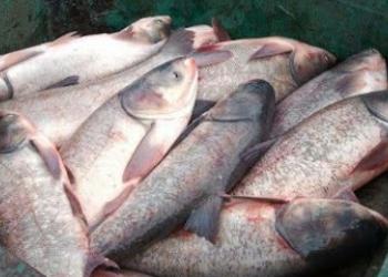 Свежезамороженная рыбка