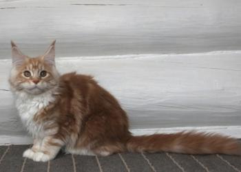 Котёнок мейн кун, кошечка