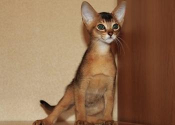 Абиссинский котёнок дикого окраса