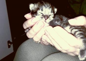 Продаю кошечку Скоттиш-Фолд