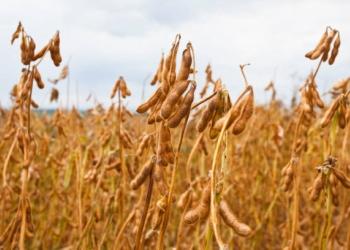 Семена сои Билявка РС1