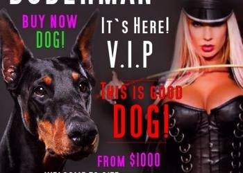 Купить щенка добермана в Москве