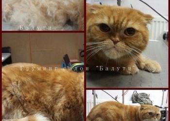 Недорогая Стрижка кота в колтунах.  Линяет кот что делать? Есть выход – стрижка.