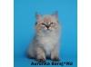 Сибирские и невские маскарадные котята из питомника Baraj