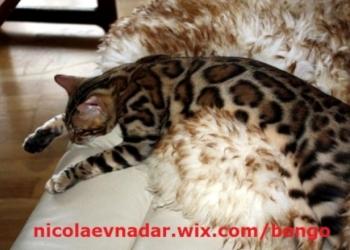 Шикарные бенгальские котята с подарками