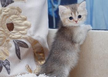 Британские котята золотых окрасов