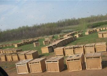 Пчелопакеты в Красноярске
