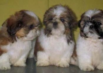 Ши-тцу Очаровательные щенки с отличной родословной