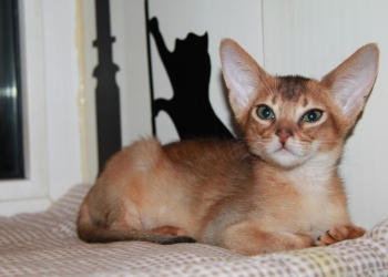 Абиссинские котята,американские линии