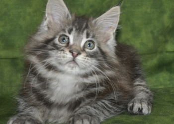 Котята мейн кун из питомника Nord-Westland предлагаются к резервированию