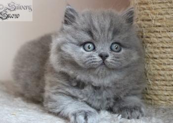 Британские длинношерстные котята (Хайлендер)