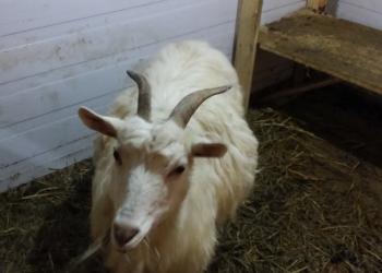 продается коза окотная
