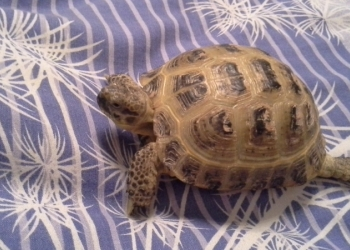 продаю черепаху