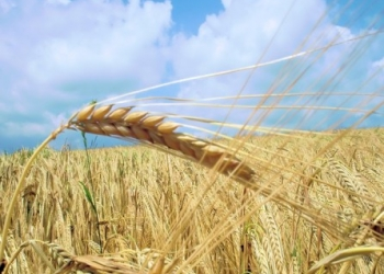 Продам емена яровой пшеницы Сударушка