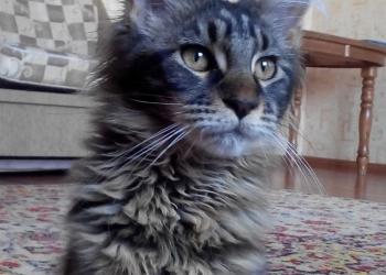 Мейн-кун котёнок девочка