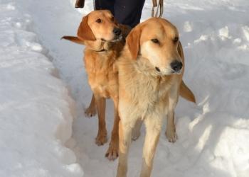 Продаются щенки русской гончии