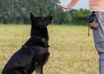 Дрессировка собак (кинолог) в Красноярске