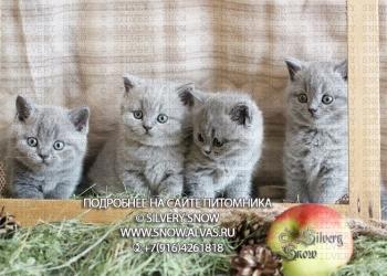 голубые британские котята. Питомник Silvery Snow