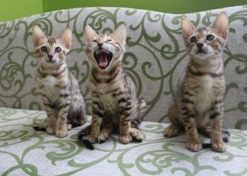Продаются бенгальские котята