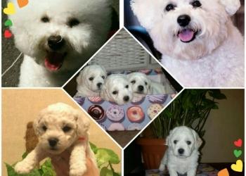 Продам щенков породы Бишон Фризе