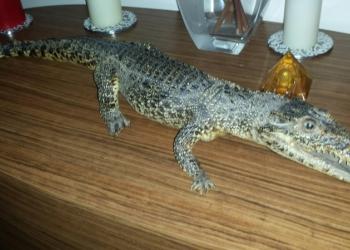Чучело амазонского крокодила