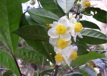 Чай // Рассада и семена чая - Камелия китайская