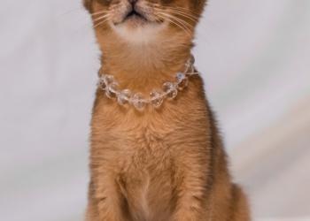 Абиссинский котик дикого окраса