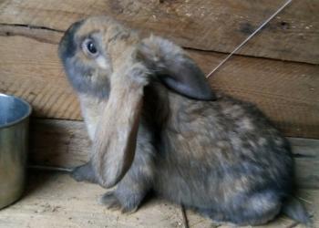 Кролики помесь великана и барана