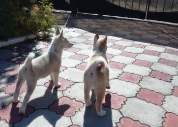 Щенки Западно-сибирской лайки от рабочих собак