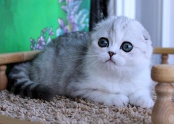 Серебристый котик с изумрудными глазами
