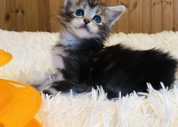 Предлагаем к бронированию котят