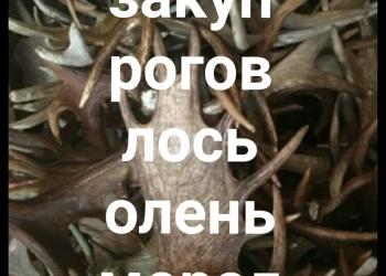 СКУПАЮ рога лося оленя