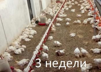 Цыплята бройлерные Кобб 500, Кобб 700 (Арбор Айкриес), корма для птицы.