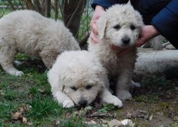 продам собаку щенок венгерского куваса
