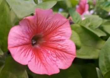 Ампельные вегетативные петунии