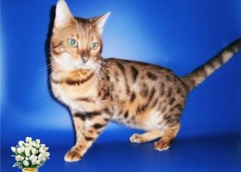 Бенгальский кот в хорошие руки
