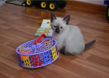 Тайские котятки в самые добрые руки