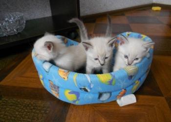 Невские маскарадные котята В ласковые руки