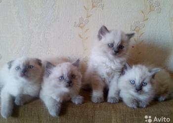 Шотландские котята, 1.5 месяца