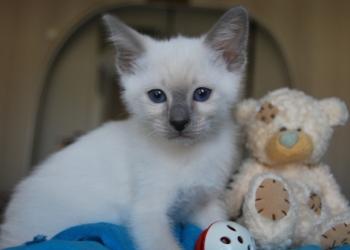 Продаются тайские котята