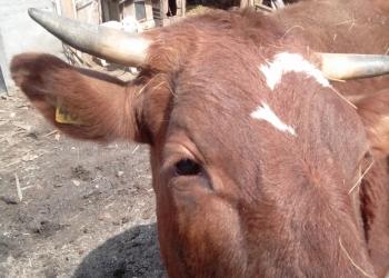 Продам высокопродуктивных коров.