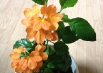цветы комнатные: калерия, фуксия, глоксинии, хои и т. д.