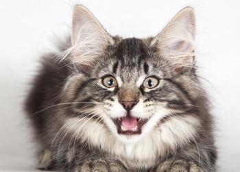 Замурчательный норвежский лесной кот